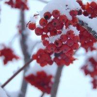 Гроздья рябины в снегу :: Екатерина ...