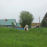 Наша деревня не может быть без козы :: Владимир Ростовский