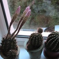 Цветки кактуса перед роспуском :: Сергей Гвоздев