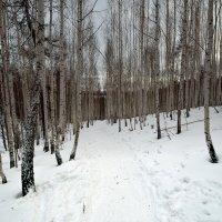 Край берёзовый. :: Сергей Адигамов