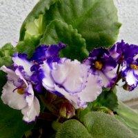 Милые цветочки :: Наталья Джикидзе (Берёзина)