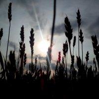 Овсяное поле на рассвете :: оксана