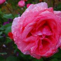 Под дождём. :: Антонина Гугаева