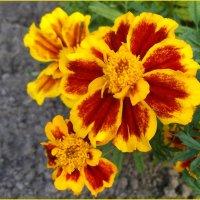 Бархатные лепестки :: lady v.ekaterina