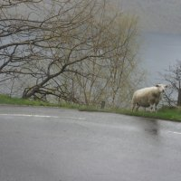 Я одинокая овца, моим страданьям нет конца... :: Елена Павлова (Смолова)