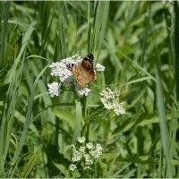 Красивая бабочка под руку попала ... :: Дмитрий Конев