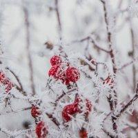 Красное на белом :: Roman Korovkin