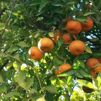 Там, где растут мандарины. :: Жанна Викторовна