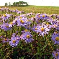 Полевые цветы :: Константин Филякин