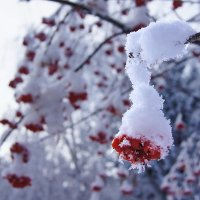 Рябина зимняя :: Виктор Четошников