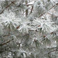Снег на иголках... :: Тамара (st.tamara)