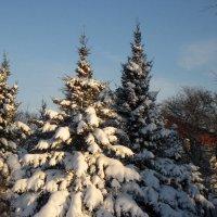 Ели в снегу .. :: laana laadas