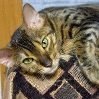 Моя кошка :: Sergey Lebedev