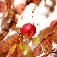Яблоки в снегу :: Василек photo