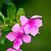 Жизнь в розовом цвете :: Ксения Базарова