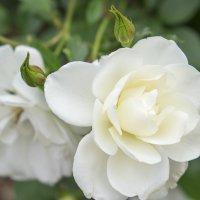 Роза :: Александр Деревяшкин
