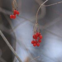 зимняя ягода :: Жанна