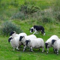 Помощник пастуха. :: Ольга