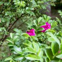 Цветущий розовый шиповник с пчелой :: Александр Левин