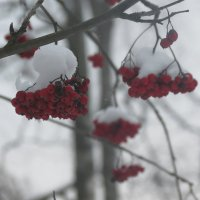 Рябина под снегом :: Людмила