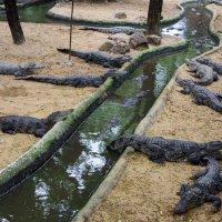 зоопарк крокодилов :: Илья Шипилов