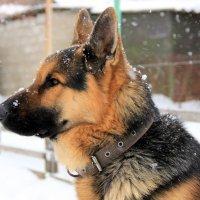 Заснеженный пёс на страже. :: Валентина Домашкина