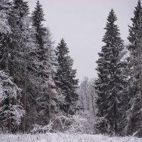 Зимний лес :: Денис Шевчук