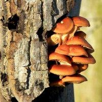 Новогодние грибочки :: Alexander Andronik