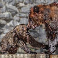 Медведица с медвежонком :: Nn semonov_nn