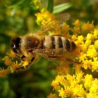 Пчелка,лето...,красота! :: Наталья