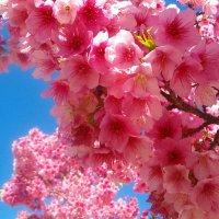Цветы Сакуры :: Герович Лилия