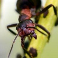 Портрет  муравья :: Геннадий С.