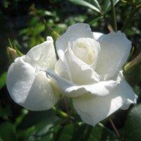 Белая роза :: laana laadas