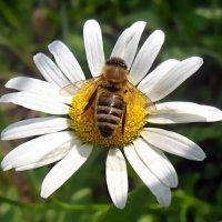 Как-то раз майским днем пчела...! :: Наталья