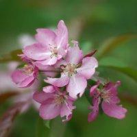 Цветы яблони :: Игорь Шубовичь