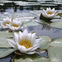 И среди зимы лилии цветут........................... :: Павлова Татьяна Павлова