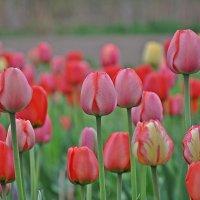 Тюльпаны. :: Андрей Синицын