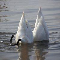 Синхронное плаванье.. :: Ирина Лядова
