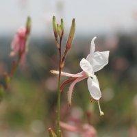 Скромный ближневосточный цветок :: Александра