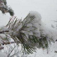 Пушистый снег на сосне :: BoxerMak Mak