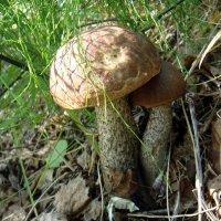 Тоже о грибах! :: Елизавета Успенская