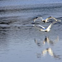 Над водой летели лебеди... :: Alexander Andronik