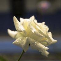 Белая роза :: Сергей Глотов