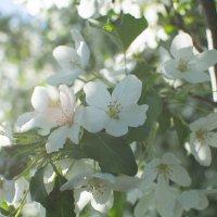 Цветущая яблоня :: Анечка Счастливая