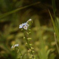 цветок :: виктория иванова