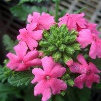 Вербена розовая :: laana laadas