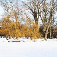 Золотые ивушки на берегу. :: Валерия Комова
