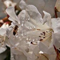 рододендрон и пчела :: Galina