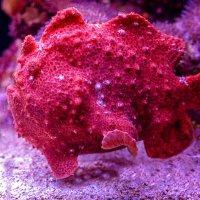 Веснушчатая рыба-лягушка-клоун :: Владимир Горубин