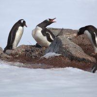 Пингвиньи ссоры :: Геннадий Мельников